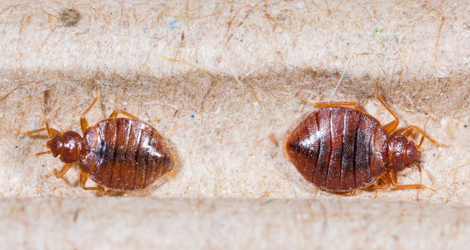 Amazing Facts On Bed Bug Diet, Habitat & Lifestyle