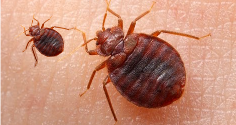 5 Tips To Make Bed Bugs Come Out Of Hidden Places